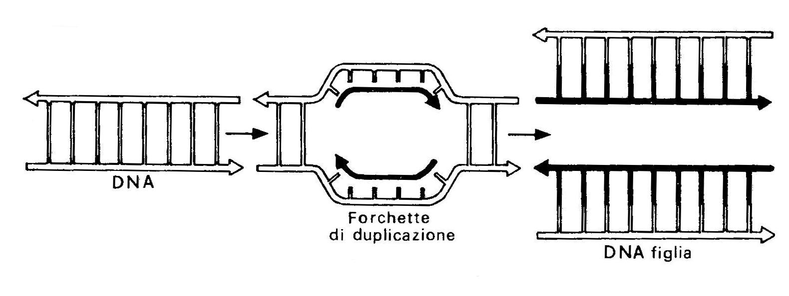 Duplicazione%20genetica.2.jpg