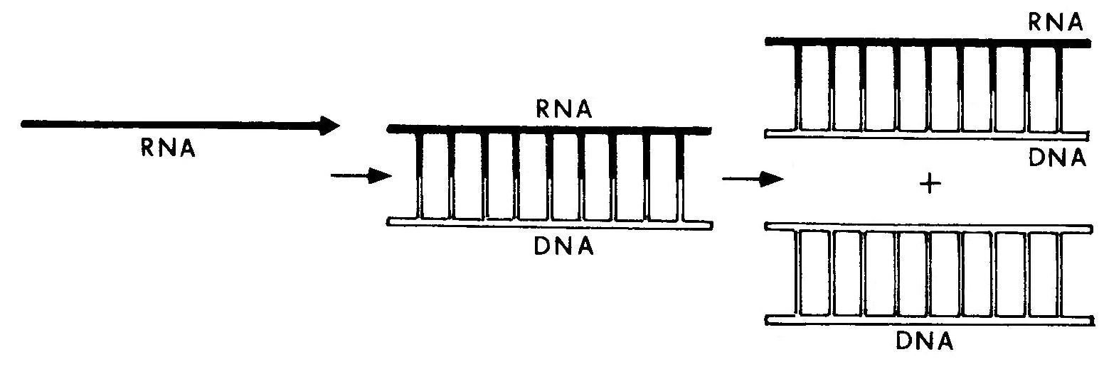 Trascrizione%20inversa%20genetica.2.jpg