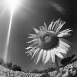 sole dietro al fiore.jpg